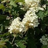 Hydrangea quercifolia 'Pee Wee' - Find Azleas,Camellias,Hydrangea and Rhododendrons at Loder Plants